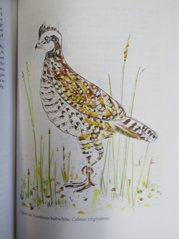 Illustration of a Norther bobwhite fowl, from the book A Year on Turtle Hill, by Susie Huser.